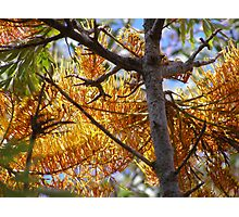 Grevillea Robusta lit up by the sun! Photographic Print