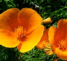 California Poppy by barnsis