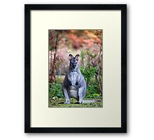 Wallaby on Bruny Framed Print