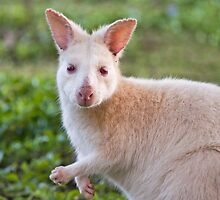 White Wallaby on Bruny by jayneeldred