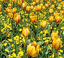 Yellow Tulips by barnsis