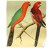 Colorful Birds of the Amazon: 1878 naturalist illustrations Poster