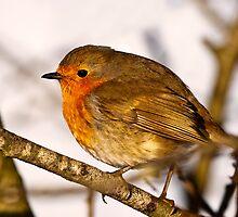 Robin in winter sun by Shaun Whiteman