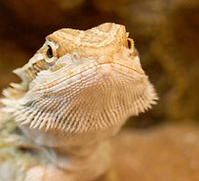 Bearded Dragon by RobsPhotos