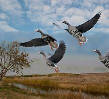 Speckled-bellied Geese in Southern Louisiana by Bonnie T.  Barry