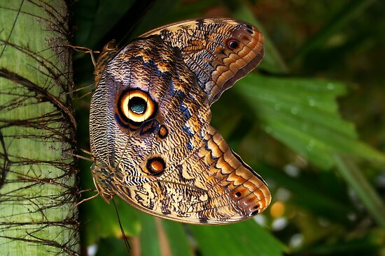 Mating Owl Butterfly - Caligo by Lepidoptera