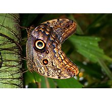 Mating Owl Butterfly - Caligo Photographic Print