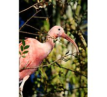 Pink Ibis at Lowry Park Zoo Photographic Print