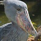 Shoebill Stork II at Lowry Park Zoo by Sheryl Unwin