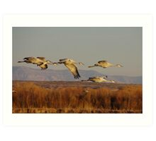 Sand Hill Cranes above the Bosque Del Apache Art Print