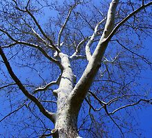 American Sycamore by barnsis