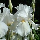 White Iris by Linda Miller Gesualdo
