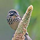 Seed eater by Paulo van Breugel
