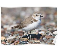 Cool Plover Poster