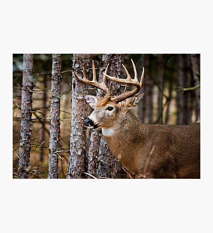 White-Tailed Buck Photographic Print