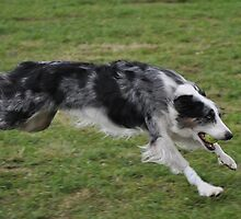 Zoom  at a flyball competition by Kevin Hertle