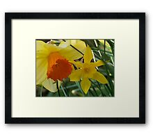 Daffodils of different sizes -  Framed Print
