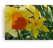 Daffodils of different sizes -  Canvas Print