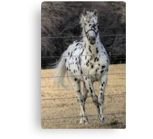 A Spotted Horse Canvas Print