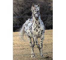A Spotted Horse Photographic Print