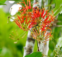 Flowering Queensland Firewheel Tree  by Kerryn Madsen-Pietsch