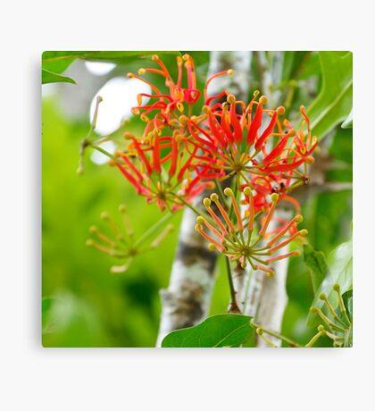 Flowering Queensland Firewheel Tree  Canvas Print