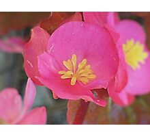 Tiny Pink Begonia Photographic Print