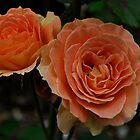 Orange Sunset rose by truearts