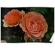 Orange Sunset rose Poster