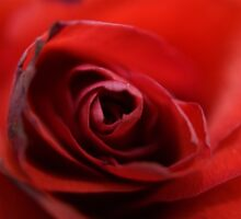 Dreamy Macro Rose by Sandra Cockayne