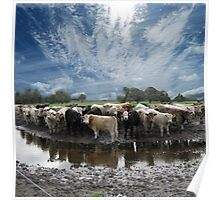 Steers and Clouds Poster