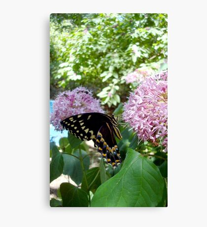 Giant Swallowtail Butterfly in profile Canvas Print