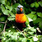 Rainbow lorikeet by JennyLee