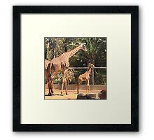 Giraffe Family, San Diego Zoo Framed Print