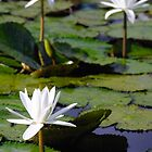 thrEE lillieS by cjcase