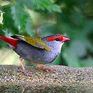 """ Firetail Finch"" by helmutk"