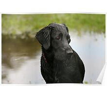 Black Lab - just taken a dip Poster