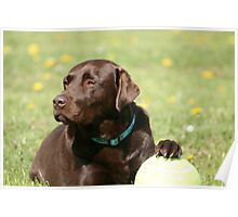 My Ball - Choc Lab Poster
