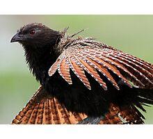 ''Pheasant Coucal'' Photographic Print
