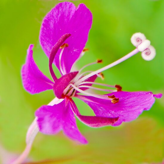 Fireweed by finnarct