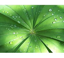 Lupin Leaves in the rain Photographic Print