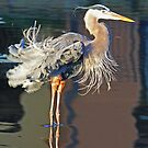 Great blue heron fluffing its feathers! by jozi1