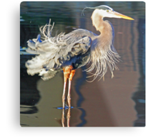 Great blue heron fluffing its feathers! Metal Print