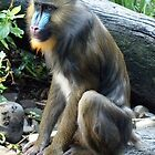 Mandrill by Clive