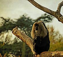 Lion tailed Macaque (Macaca silenus) by buttonpresser