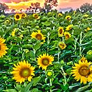 """""""Starry, Starry Fields"""" - sunflowers in bloom at sunset by John Hartung"""