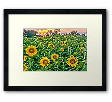 """Starry, Starry Fields"" - sunflowers in bloom at sunset Framed Print"
