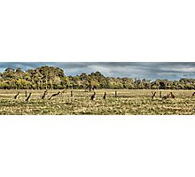 Roos in the top paddock Photographic Print