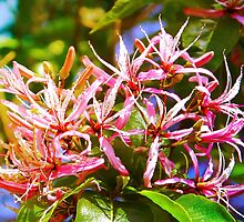 Cape Chestnut Tree Flower in Nairobi, KENYA by Atanas Bozhikov Nasko