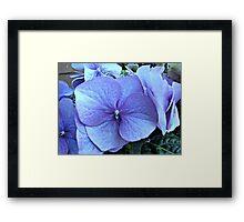 Blue Lacecap Hydrangea Macro Framed Print